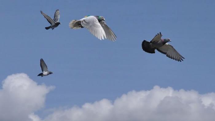 信鸽中的领头鸽是那只飞得最快的(ZSUZSA AKOS)