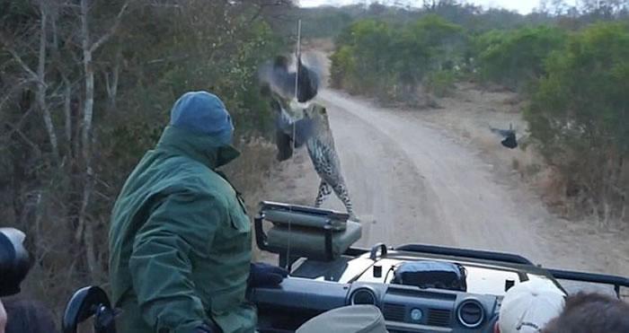 南非克鲁格国家公园猎豹从路旁灌木丛中窜到游客车前捕食山鸡