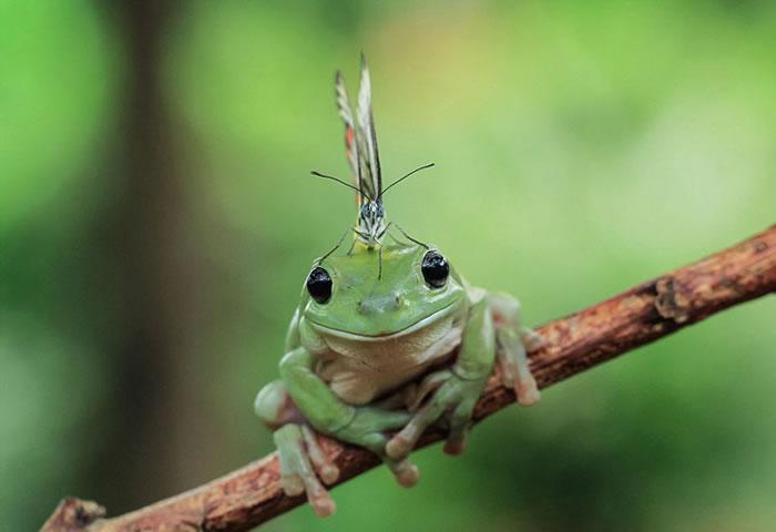 印度尼西亚一只蝴蝶停在一只树蛙头上