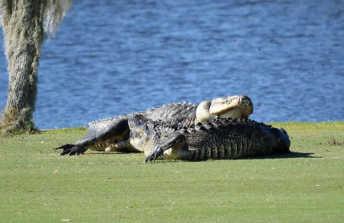 两只巨鳄在美国佛罗里达州高尔夫球场上厮杀