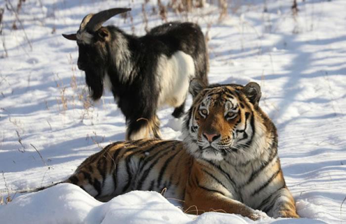 俄罗斯野生动物园买来山羊喂老虎 结果它们却成了朋友