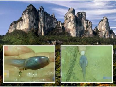 """重庆金佛山溶洞发现""""玻璃鱼"""" 是中国特有濒危物种红点齿蟾的幼虫"""