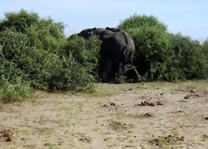 2头大象原本在树丛里打斗