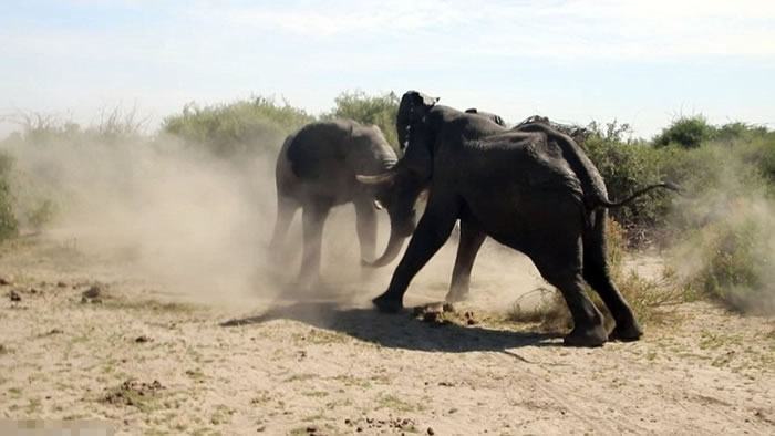 2头大象将战场移师丛林外,继续斗个你死我活。