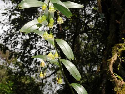 发现珍奇黄精属植物新种——钟花黄精