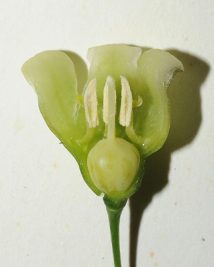 钟花黄精(Polygonatum campanulatum G. W. Hu)的花