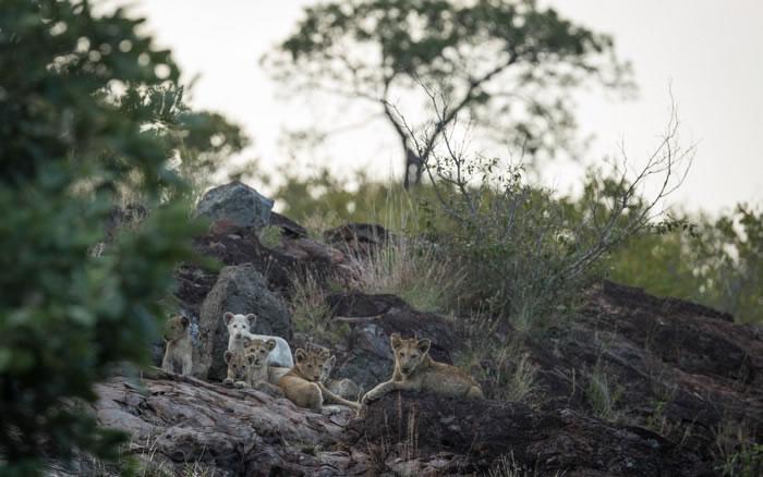 南非辛吉塔·克鲁格国家公园摄像机拍到罕见白狮