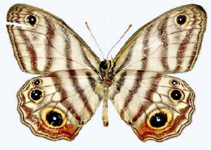 亚马逊雨林发现的新蝴蝶以博物学家名字命名——阿滕伯勒眼蝶