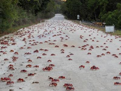印度洋东北部澳大利亚圣诞岛迎来数百万只红蟹一年一度的大迁徙