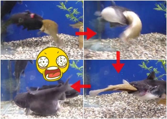 内地网络近日流传一段残忍影片,片中一条鲶鱼残忍地生吞一条鲫鱼。