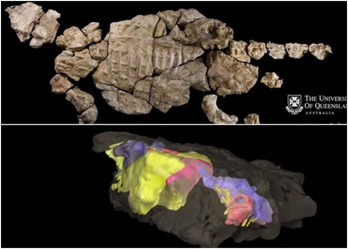 科学家对Kunbarrasaurus的骸骨(上图)进行3D重组工程(下图)。