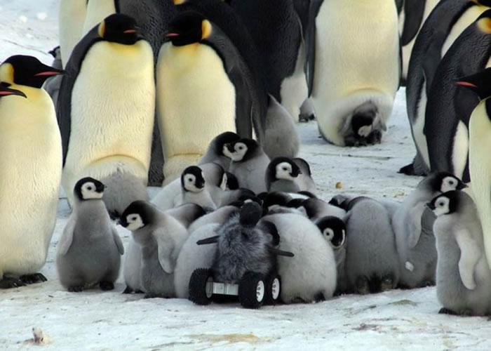 """小企鹅群似想""""特务小企鹅""""跟它们一起玩。"""