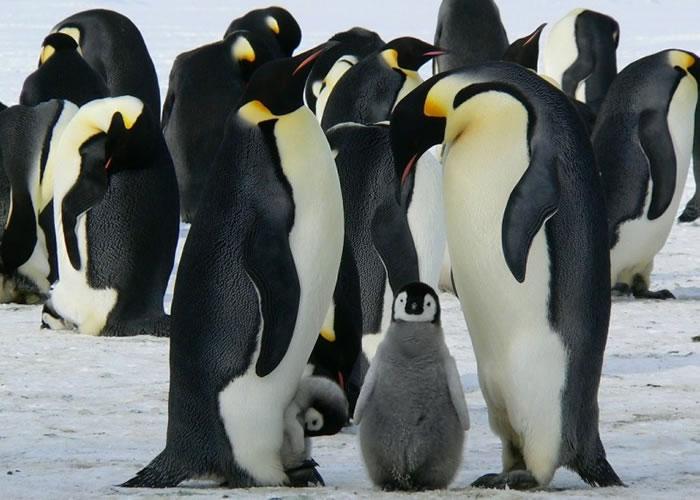 该辑纪录片讲述南极皇帝企鹅的生态,将于圣诞播出。