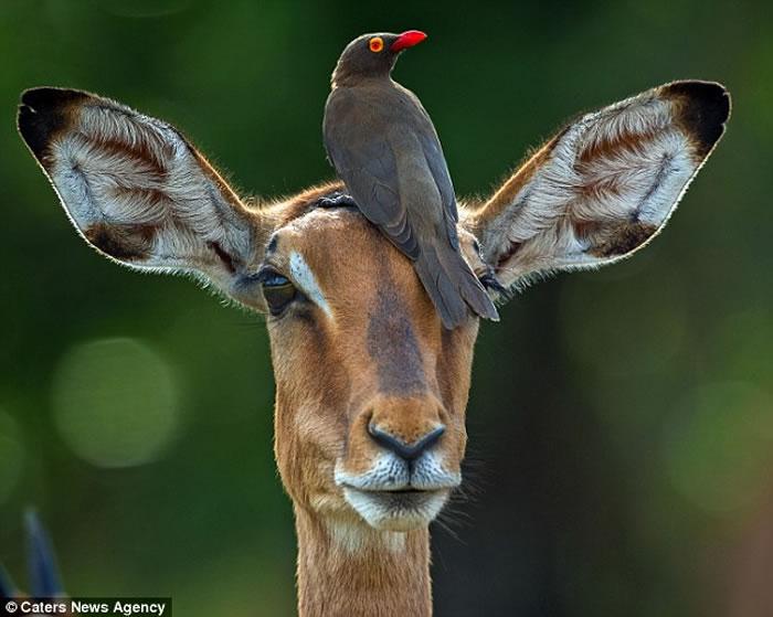南非克鲁格国家公园红嘴牛椋鸟为黑斑羚挠痒痒