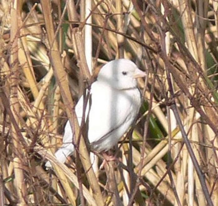 日本高知县宿毛市河岸边发现一只白色麻雀