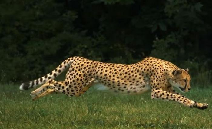 国家地理频道上传超高速拍摄影片:透视猎豹为奔跑而生的身体构造