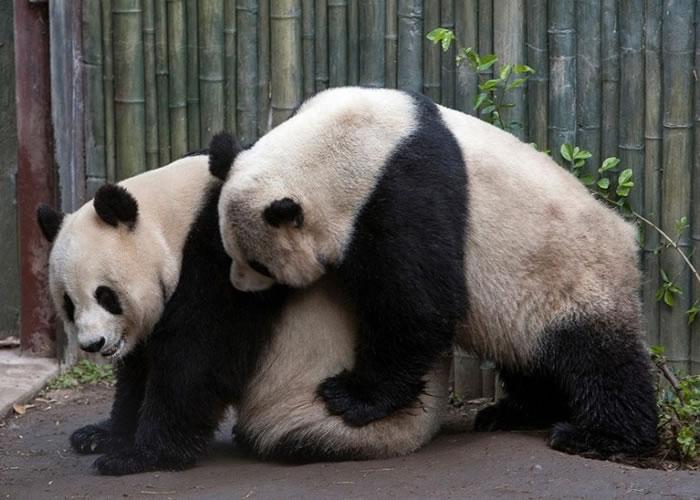 研究发现熊猫自行选择性伴的话,交配次数都会增加。