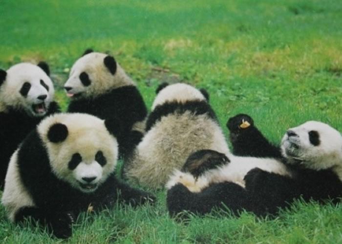 即使是被人工饲养的熊猫,对于择偶都有自己的一套想法。
