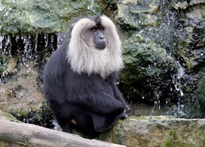泰米尔(图)疑受同类欺凌,逃离动物园。