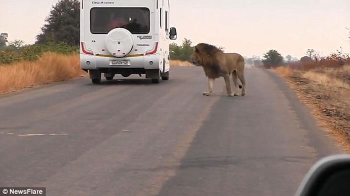 """非洲狮子疑被战胜后对镜头""""哭泣"""""""