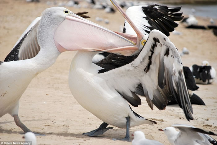 澳大利亚南部艾尔半岛上两只鹈鹕上演夺食大战