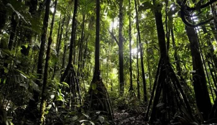 厄瓜多尔雨林中棕榈树Socratea exorrhiza或许是世界上唯一会移动的树