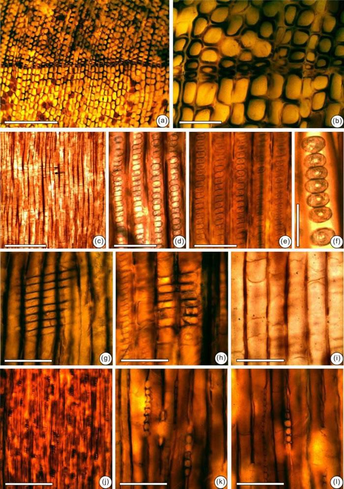 辽西建昌地区侏罗纪发现的裴德异木化石及解剖构造特征