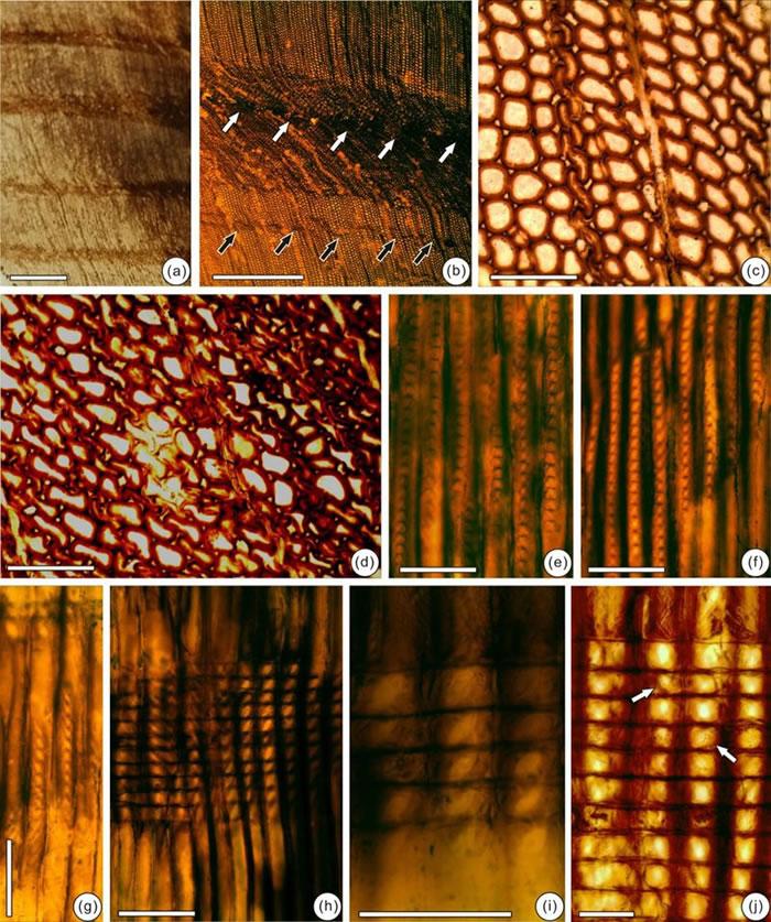 辽西建昌地区侏罗纪发现的原始落羽杉型木(新种)木化石及其解剖构造特征