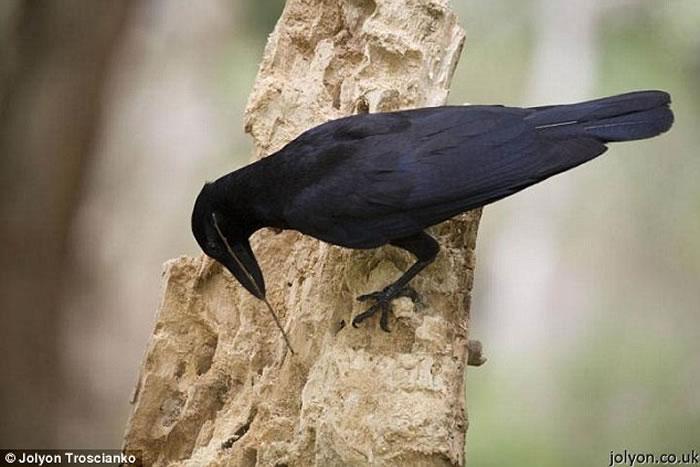 科学家通过相机观察发现新喀里多尼亚岛乌鸦懂得使用木棒作为捕食工具