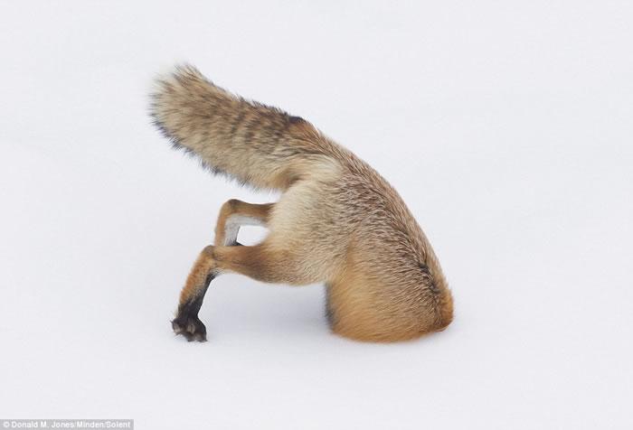 美国摄影师在黄石公园抓拍到红狐腾空而起钻入雪地中抓捕猎物的精彩画面