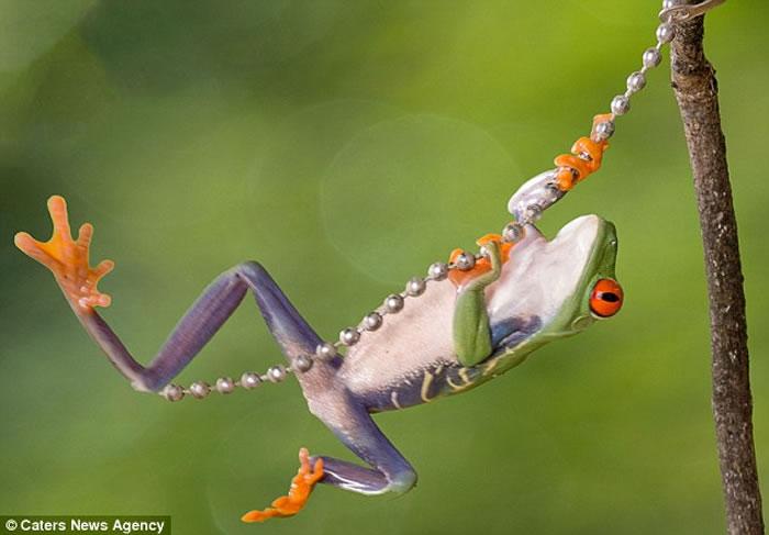 """""""蛙中泰山"""":孟加拉国摄影师图拍摄萌宠青蛙""""手""""抓珠链林间飞荡照片"""