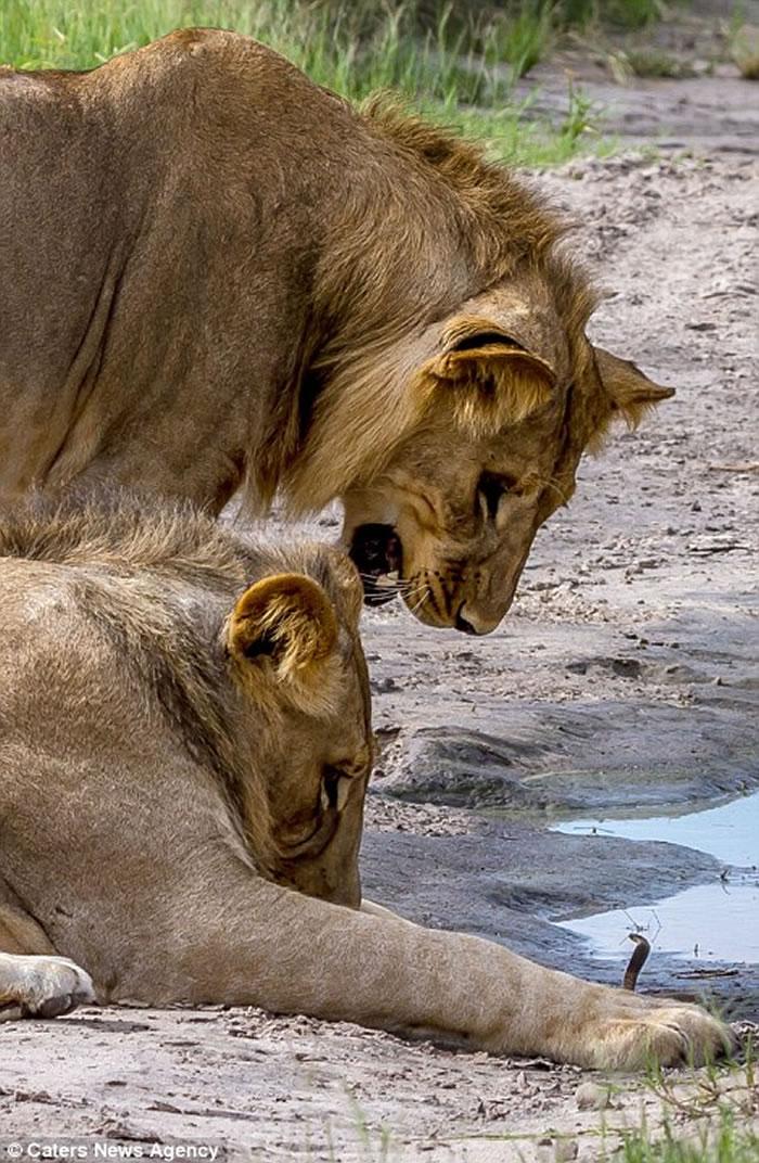 """博茨瓦纳""""丛林之王""""狮子被小眼镜蛇吓退"""