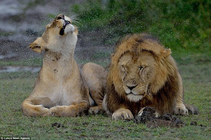 非洲坦桑尼亚雄狮狂甩鬃毛弄湿雌狮