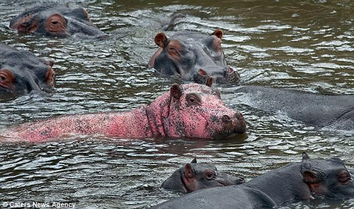 法国夫妻游访肯尼亚马赛马拉国家公园目睹传闻中的粉红色河马
