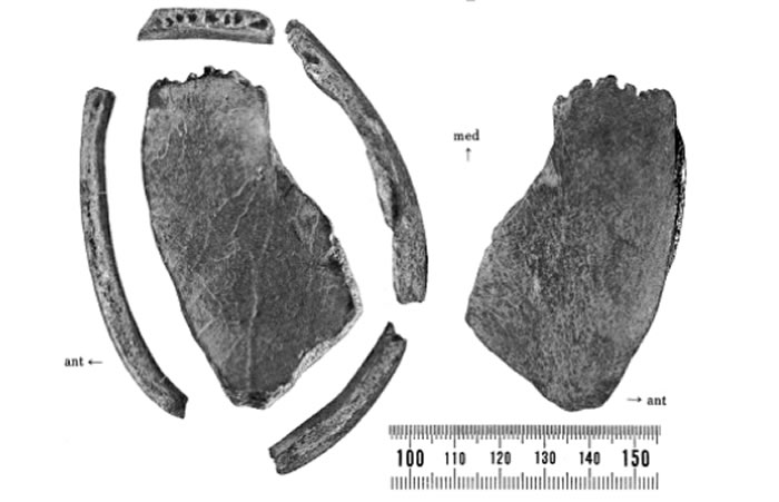 从2~3万年降到3千年的「左镇人」头盖骨。图片来源:引自Shikama, Tokio, CC Lin and Nobuo Shimoda, et al 1976
