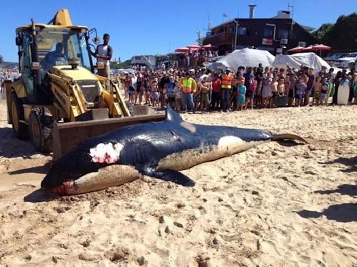 虎鲸在南非开普敦省海滩搁浅死亡 解剖发现腹中满是人类制造的垃圾