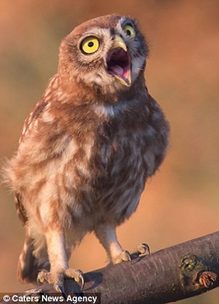 乌克兰摄影师Andrew Kay抓拍到一只小猫头鹰向他挤眉弄眼的滑稽模样