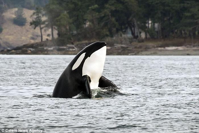 美国华盛顿州圣璜岛虎鲸为捕捉海豚纵身跃起在海平面上划出一道弧线