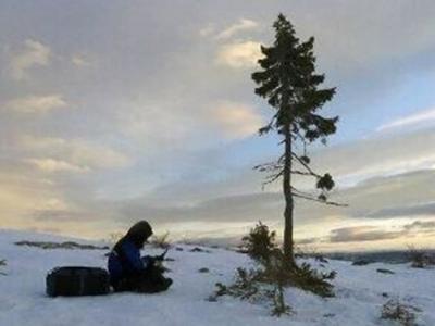 """瑞典发现世界上最古老的树 9500年云杉命名为""""老季科"""""""