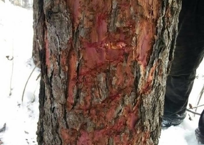 树干上留有巨型猫科动物的爪痕。
