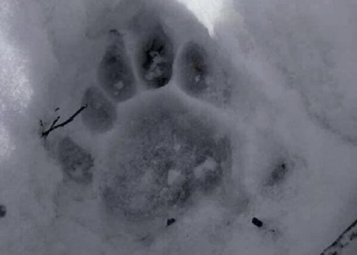 雪地上有疑似东北虎留下的明显脚印。