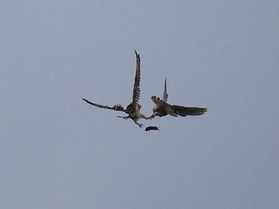 英国猫头鹰捉到田鼠却遭红隼半空截劫 结果......