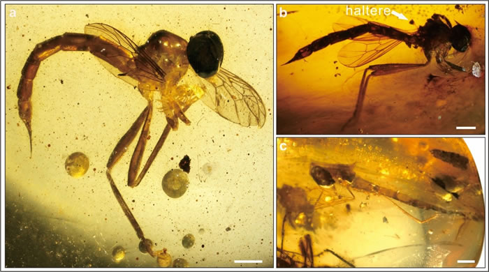 a.针虻正模标本; b.副模标本; c.副模标本