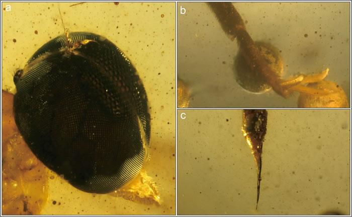 针虻细节图 a.头部;b.爪;c.产卵器
