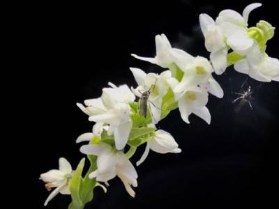 沼泽兰花散发在人体气味中发现的化学物质吸引蚊子