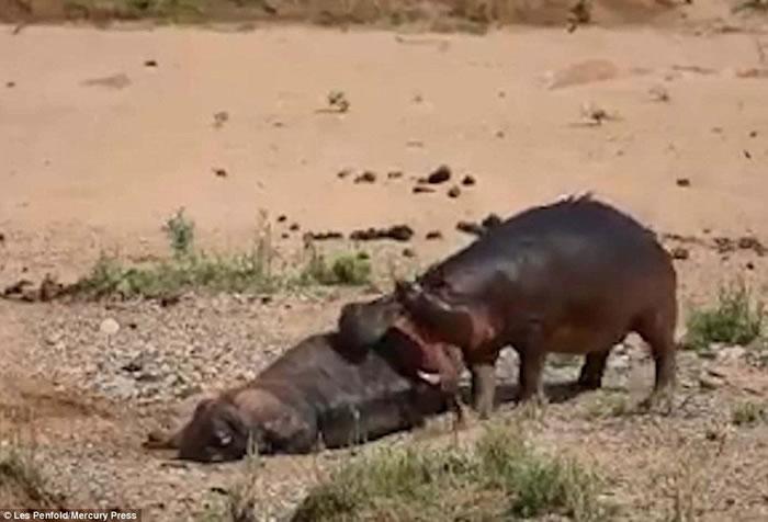南非克鲁格国家公园河马打败野牛后疯狂撕咬尸体炫耀霸主地位