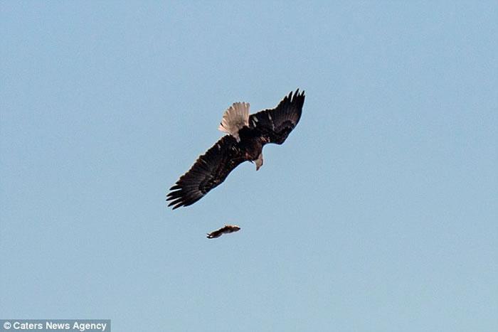 美国两只秃鹰在空中争夺一只土拨鼠,猎物空中掉落后俯冲抓回