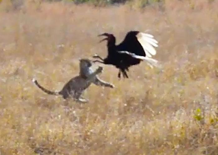 犀鸟神奇地从豹口中挣脱