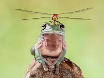 印度尼西亚Lessy Sebastian在自家花园捕捉到蜻蜓栖息在青蛙头顶画面 像一架直升机
