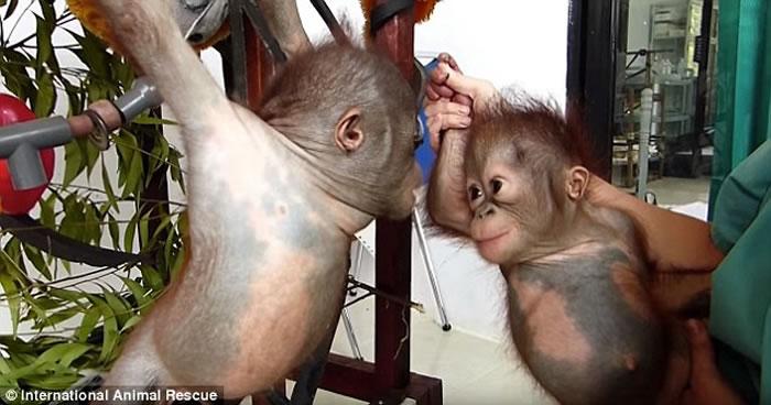 红毛猩猩宝宝Gito和Asoka初次见面就变成好朋友 之前双方均被遗弃